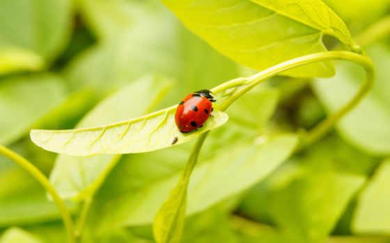 божья, коровка, ladybug, bugs, hành, страница,
