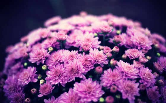chrysanthemum, cvety, indicum, archive, экран