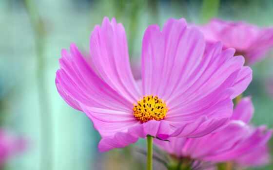 цветы, розовый, космеи, makryi, компьютер, blue, близко, pencil, color, ноутбук, mac