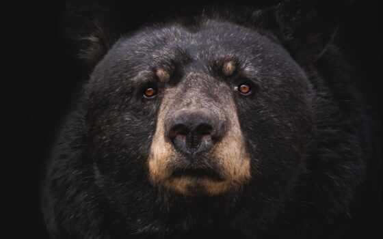 медведь, black, хищник, трава, animal