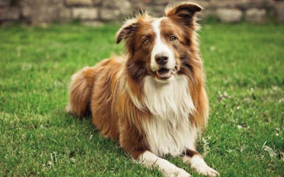 pies, border, колли, biały, brązowo, trawnik, ка,