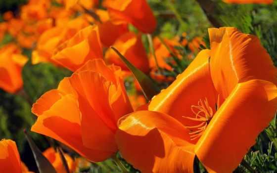poppy, эшшольция, cvety, california, christy, кристи, mack, незабудка, самый,