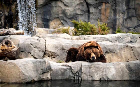 медведь, браун, медведи, лежит, капли, zhivotnye,