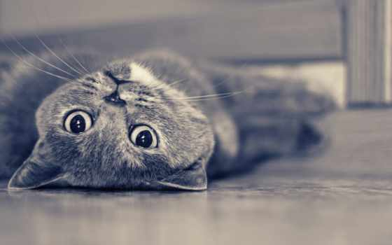 кот, кошки, zhivotnye, породы, высоком, голубая, русская, тюлень, британец,