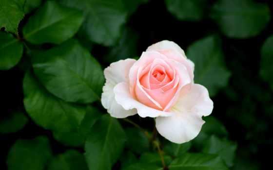 tamil, kavithai, images, kavithaigal, роза,