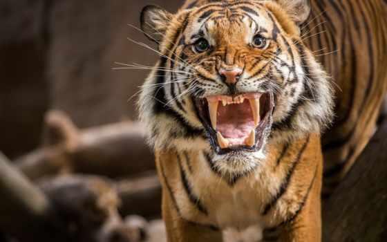 тигр, злой, ухмылка