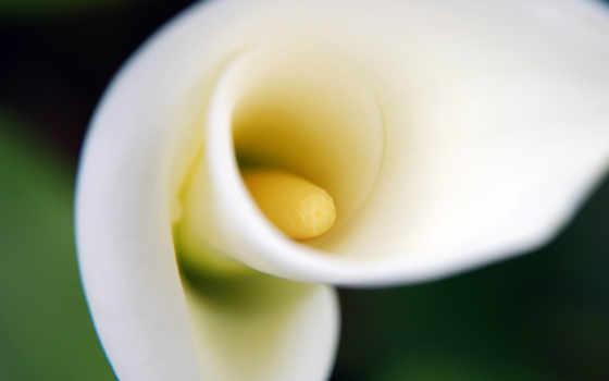 lily, calla, мар