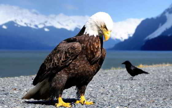 орлан, птица, ворона
