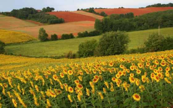 подсолнухи, поле, красавица