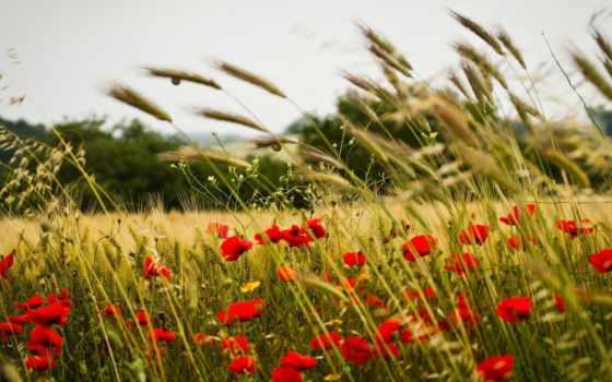 поле, солнцеворота, одуванчиков, одуванчики, цветы, праздник, небо, пшеница, slavic,