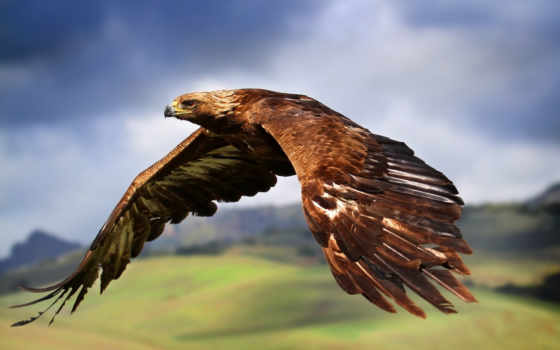 орлан, flying, desktop, pinterest, eagles, золотистый, fly,