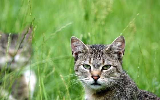кот, взгляд, зелёный, смотрит, кошки, british, ong, котята,