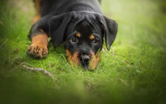 собака, rottweiler, pet, animal, щенок