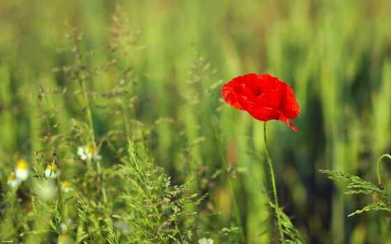 цветы, мак, широкоформатные