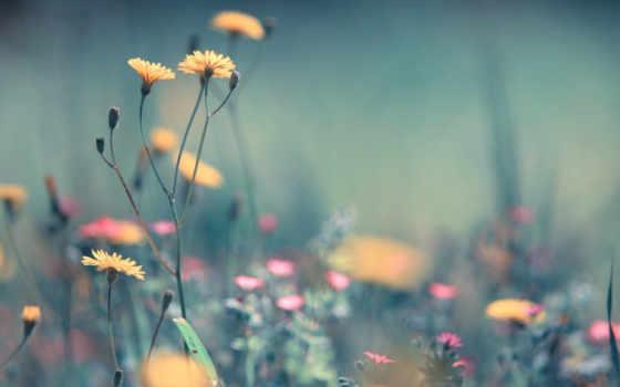 поле, жёлтых, одуванчиков