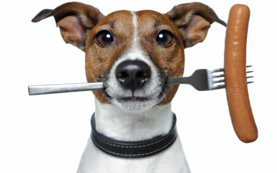 jack, рассел, бультерьер, stock, изображение, white, фон, джек, колбаса, fork, собака,