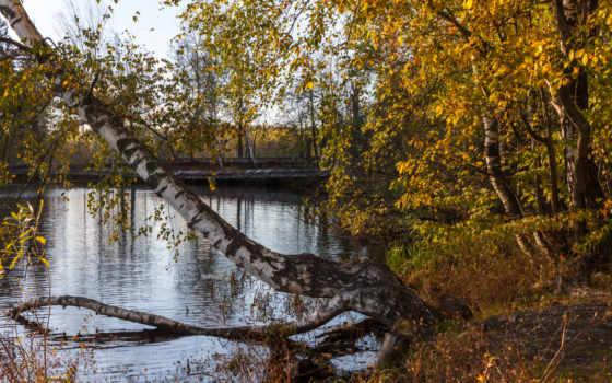 береза, пруд, tapety, осень, trees, страница, отражение,