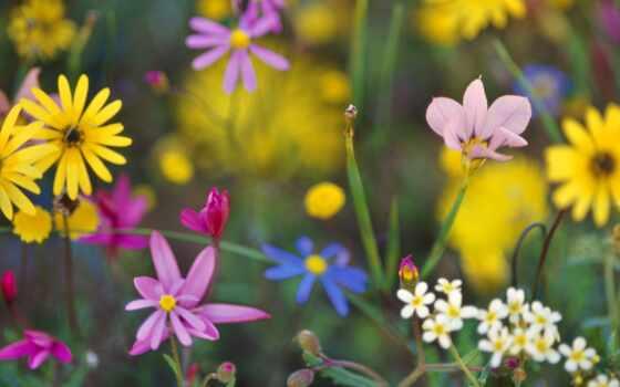 цветы, african, daisy, south, love, природа