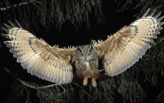 сова, крылья, птица