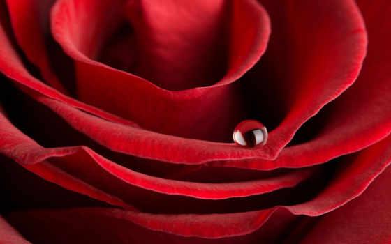 розы, красивые, рози