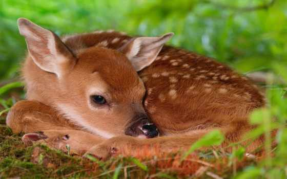 fawn, лежит, лань, траве, трава, small, отдыхает, you,