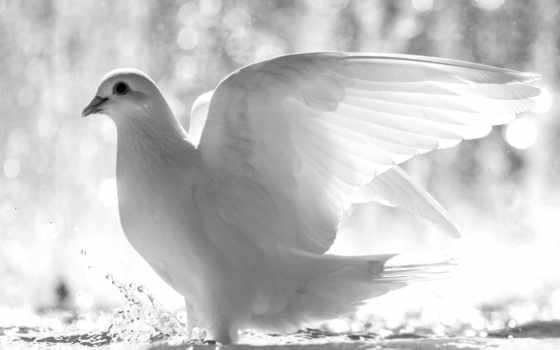 water, голубь, dove