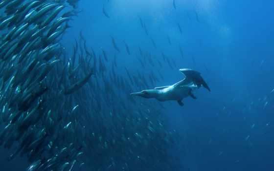 cape, gannet, diving, fish, johns,