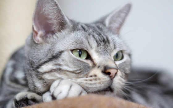 кот, взгляд, domestic, порода, short,