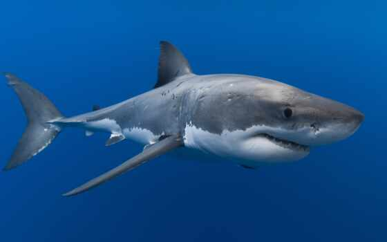 акула, miro, подводный, животное, рыба, акула, voda, meduza, кит, podvodnoi, more