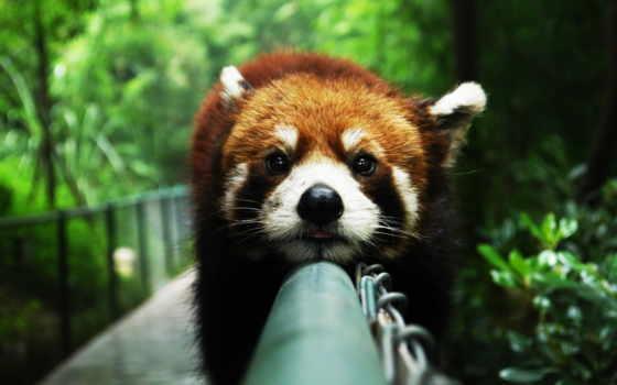 панда, red