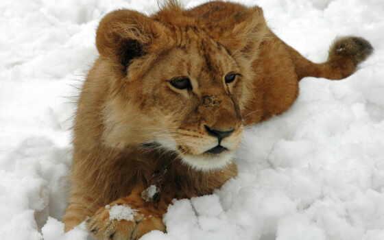 lion, winter, кот