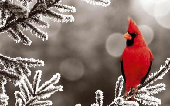 птица, кардинал, winter