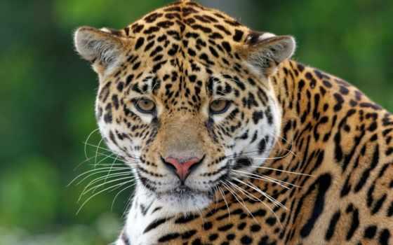 леопард, preview, кот