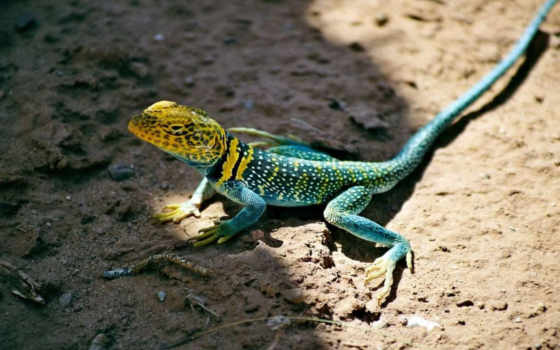 iguana, ошейниковая, игуаны, ящерицы,