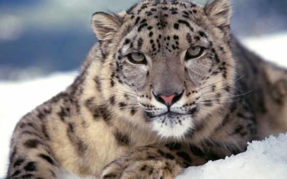 леопард, снег, снежного