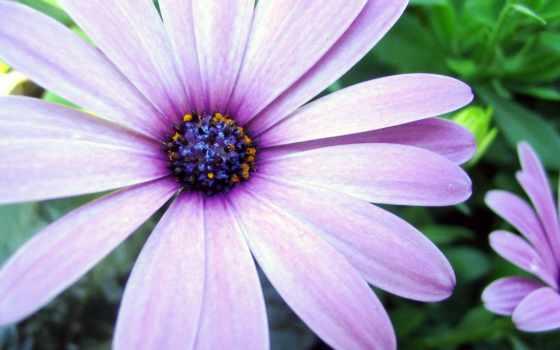 цветы, похожие, ромашку, нежными, сиреневатыми, similar, ромашки, лепестками,
