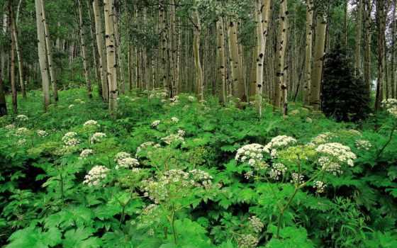 лес, береза, леса