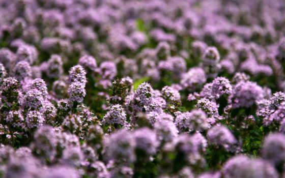 flowers, природа, high, definition, wide, desktop, цветы, растение,