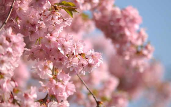 russian, Сакура, cherry, цветение, разных, cvety, цветущая,