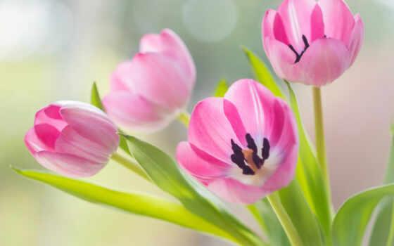 тюльпаны, cvety, розовые, бутоны,
