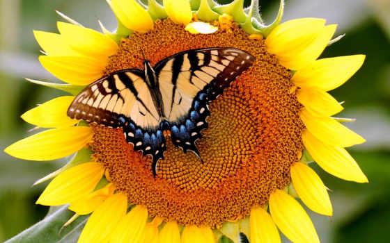 бабочка, подсолнухе, подсолнух