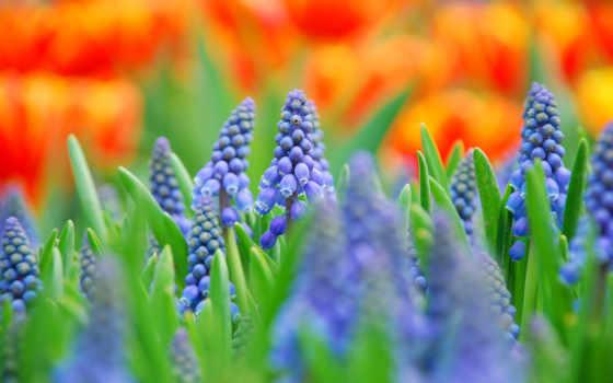 цветы, синие, макро