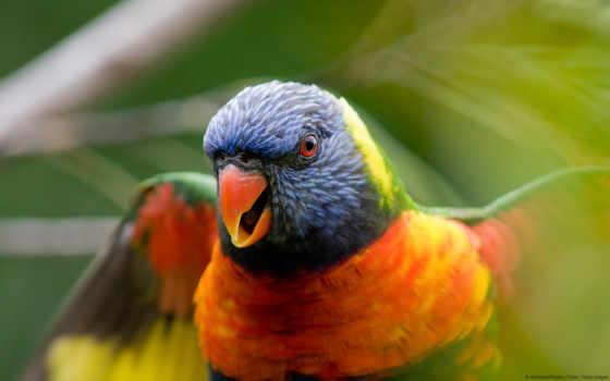 птица, цветная, попугай