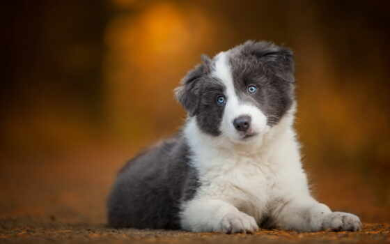 border, колли, blue, eyes, dogs, собака, щенок,