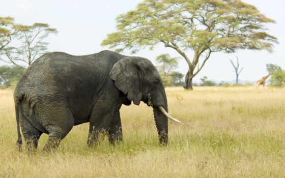 mac, слон