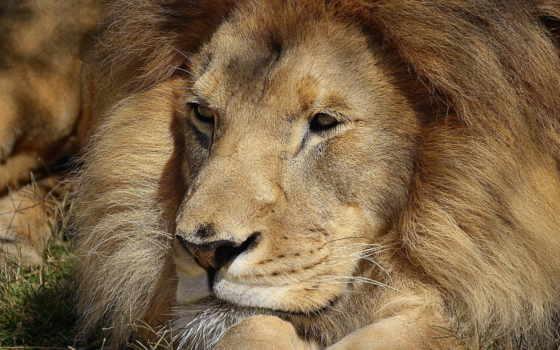 lion, лапы, морда