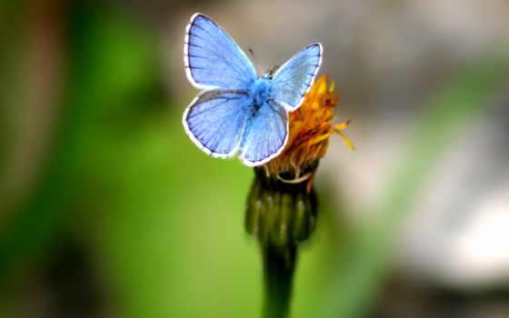 бабочка, голубая, красивая