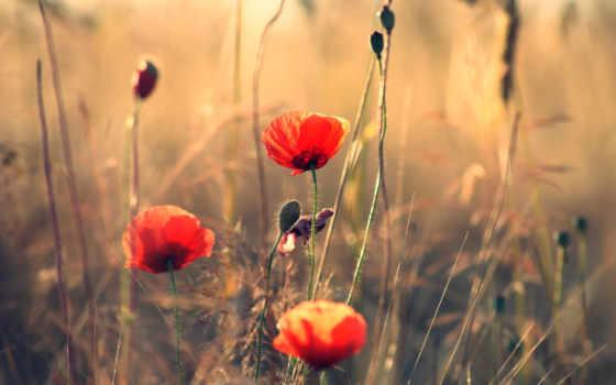 маки, summer, цветы