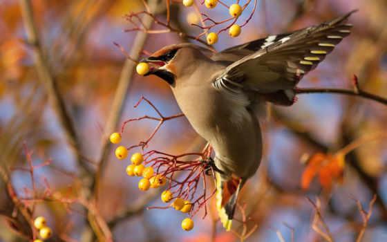 птица, свиристель, ягоды