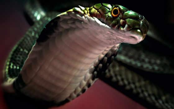snake, cobra, голова, свет, капюшон, zhivotnye, змеи,